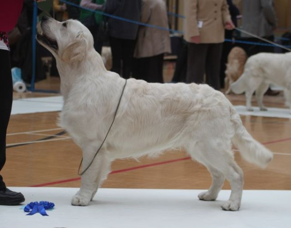 194932f2cccedd 24th March 2012 – The German Golden Retriever Club Specialty Championship  Show